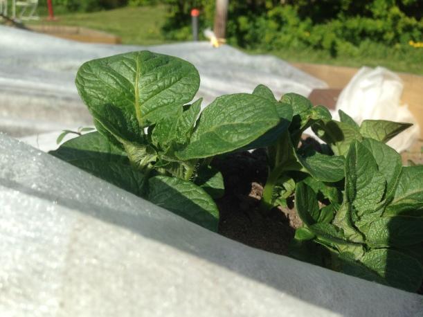 Potetplantene trives!
