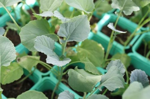 Blomkålplantene mine sturer,- de vil over i mer jord, de er sultne!